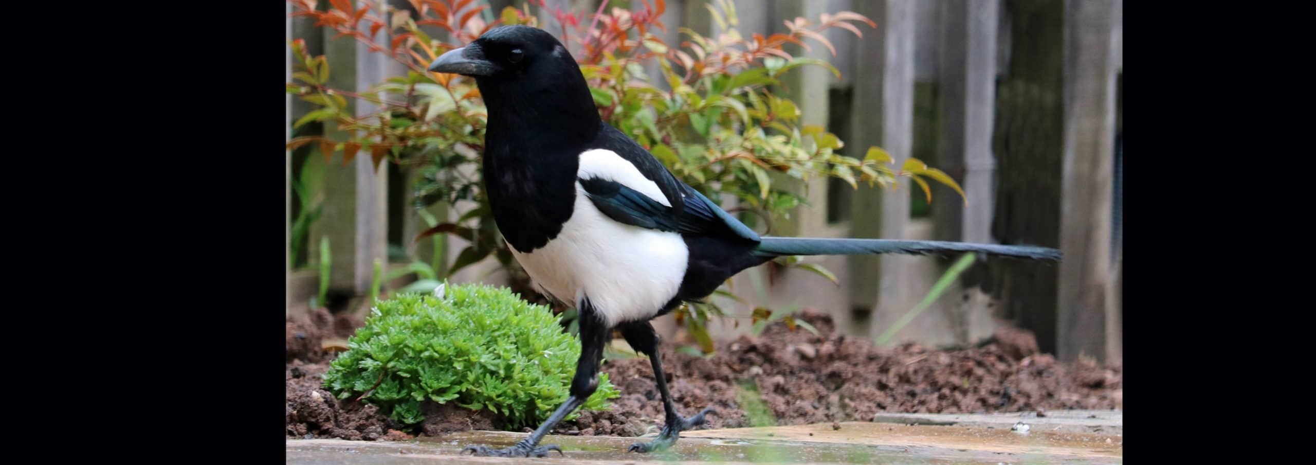 LIes of the Magpie